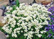 Saxifraga x arendsii 'Alba' White X 6 Plug Plants Hardy Rockery Perennial