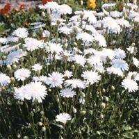 Crepis Rubra White-( Hawksbeard) - 50 Seeds