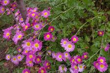 Dendranthema (perennial chrysanthemum) - Purple Mist Global Warming