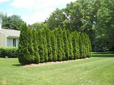 Coniferous Seeds - EMERALD ARBORVITAE - Great Privacy Tree - 25 Seeds