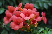 die schöne Klettertrompete wächst schnell und hat eine üppige Blütenpracht.