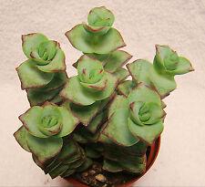 """Succulent Crassula Perforata """"Necklace Vine"""" 2-3 Inches Red Edges"""