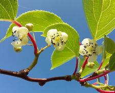 4x rare fruit climber vine Baby (Mini) Kiwi ACTINIDIA ARGUTA starter plants 1POT