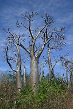 10 Pachypodium rutenbergianum SEMI CACTUS PIANTE GRASSE baobab seeds caudex