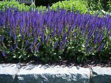 Salvia nemorosa rugen pot 3 litres 40/60 cm sauge