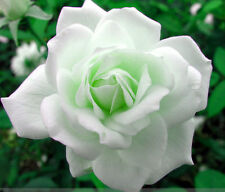 Live Grafted White Rose Flower Plant Two Plants in Pot
