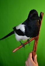 Stuffed Magpie  Bird Taxidermy  Bird Mount
