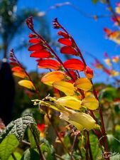 Ipomoea lobata red to white (Mina lobata, Firecracker) x 20 seeds. Gift in store
