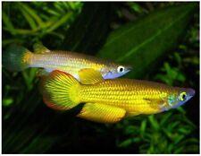 Golden Wonder Killifish - (Apolcheilus lineatus) Striped Panchax - Male