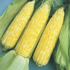 (25) Bilicious Bi-licious Sweet Corn Seeds Usa Seller Fast Shipping!