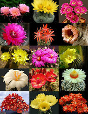 Flowering Cactus Mix ! rare garden cacti exotic desert succulent seed 200 seeds