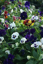 FLOWER PANSY WINTER / EARLY SPRING FLOWERING TEMPO MIXED 300 SEEDS