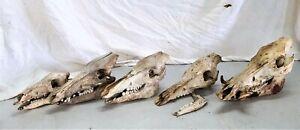 5 x Wildschweinschädel vom Frischling - 150 kg Keiler