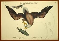Gravure Ornithologie Oiseau AIGLE PECHEUR D AMERIQUE