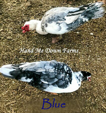 Muscovy Duck 12+ Hatching Eggs Mixed Colors- lots of rare patterns/colors