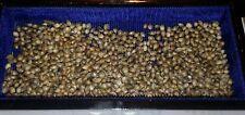 Sativa Hemp Seed Lot of 10 Pure Power Plant Romulan Cross Cannabis Femanized