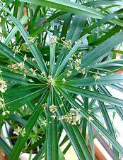 Cyperus alternifolius Luftbefeuchter Katzen Gras Zyper Zyperngras Ableger