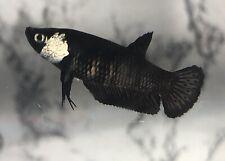 Live Betta Fish Female Black Samurai  Plakat