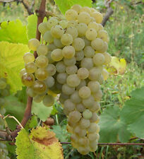 Giant Variety*Green Grape 15-Finest Seeds /Juicy & Very Delicious Fruit Seeds*UK