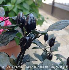 BLACK OLIVE 10 SEMI peperoncino buon sapore pianta vigorosa molto decorativa
