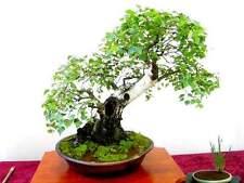 JAPANESE WHITE BIRCH - Betula  100 Semillas  seeds bonsai