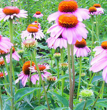 FD2021 Prairie Coneflower Seeds Echinacea Ratibida Columnifera / Pack 50 Seeds