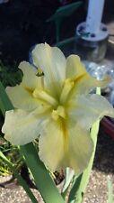Water Iris 4x plants yellow