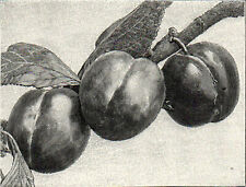 PLUM EARLY PROLIFIC 1894 Botany Fruit Plants VICTORIAN PRINT