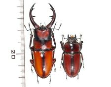 Lucanidae:Prosopocoilus dissimilis elegans pair ,A1, unmounted,Japan,beetle
