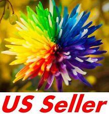 50 PCS  Rainbow Chrysanthemum Flower Seeds B7, Novel home garden bonsai Tricolor