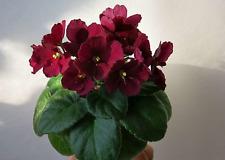 ☘ JOLLY MARS ☘ MINI ☘ Pittman ☘ African Violet Plant ☘ Starter Plug ☘ 2007