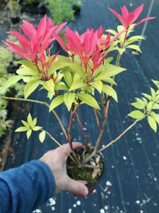 3 Pieris 'Forest Flame' Shrub (Seconds) in 10.5cm Pots