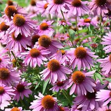 Coneflower Purple Flower Garden 20 Fresh Seeds Free Shipping in Usa