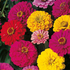 Zinnia Oklahoma Mix Seeds 5 Colours Excellent Cut Flower Repeat Flower Easy Grow