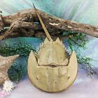 """HSC20 Lg Real Horseshoe Crab shell Oddities Curiosities specimen collectible 15"""""""