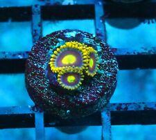 Utlra Corals Kgb Zoas / Palys - Badass Frags Wysiwyg Live Coral Frag