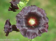 100 Giant Hollyhock Seeds Althaea Alcea Rosea Hardy Malva Sylvestris Flower New