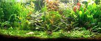 PROMO  lot 10 bouquets 60 plantes aquarium vert rouge   +2 cladophoras en+