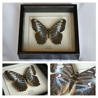 Real Sylvia Butterfly Hand Set and Framed in UK Beautiful Gift - Taxidermy