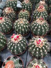 Melocactus maxonii 10,5cm pot Sämling/seedling