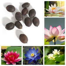 Bonsai Lotus Water Lily Flower Bowl Pond Fresh Seed Perfume Lotus Decor 10pc/set