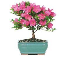 Bonsai Pink Satsuki Azalea Small Gift Plant Tree - (Outdoor)