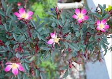 SHOWY ROSA GLAUCA-THORNLESS-SILVER/BLUE FOLIAGE-SEED