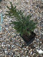 Picea Orientalis Shadows Broom Dwarf Conifer 5 Years Old