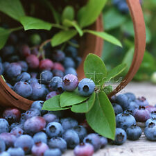100 Blueberry Tree Seed Fruit Blueberry Seed Potted Bonsai  Seeds TT043