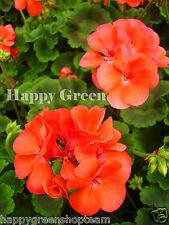 F2-Jardín Geranio salmón - 10 Semillas-Pelargonium Hortorum-plantas perennes Flor