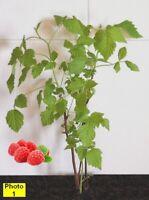 8 Grandmas Red Raspberries, very sweet. Plants Organically Grown