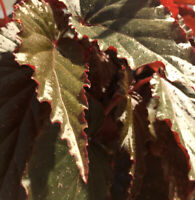 Begonia Cuttings X3 Burgandy Green Angel Wing Dragon Wing Free Shipping!