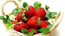 20 Honeoye Strawberry Fruit Plants Outdoor INCREDIBLY SWEET BERRY 20 Zone 3-8