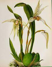 Antique ORCHID Print Botanical White Flower Print Cottage Decor Maxillaria #2169